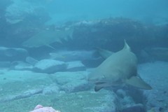 Grey Nurses 4 (sarah.handebeaux) Tags: bondi diving visibility fantastic july shark grey nurse sand tiger ragged tooth sharks big