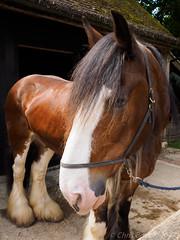N6040264 (Boyce905) Tags: horse shire heavy