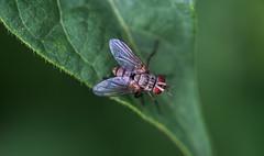 fly (severalsnakes) Tags: kansas m1004macro pentax saraspaedy shawnee shawneemissionpark bug fly insect k1 raynox150