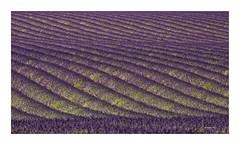 Swinging Lavendel... (Babaou) Tags: frankreich france feld lavendel lavande alpesdehauteprovence provencealpescôtedazur provence paca suedfrankreich dxo lalonde2017 plateaudevalensole