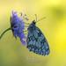 Melanargia galathea (fire111) Tags: melanargia galathea dambordje tegenlicht backlight vlinders butterfly insects insect photography wild wildlife nature flower