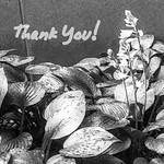 floral thank you (b&w)......2017-06-08 thumbnail