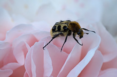 bed of roses (Simple_Sight) Tags: garden nature outdoors macro closeup plant flower bed sleep rose pink light summer blossom petal bug beetle beebeetle ngc npc