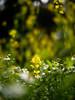 * (t*tomorrow) Tags: panasonic lumix gx8 nokton nokton25mmf095 flower 花 菜の花