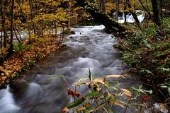 Fujifilm xt1 (linwujin) Tags: water 奧入瀨 japan tree pine fujifilm xt1 xf1655 leaf nature landscape river stone maple green orange waterfall