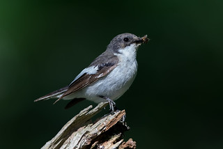 Pied Flycatcher (Male)