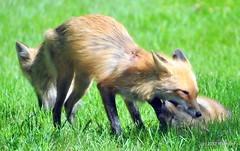 DSC_0781 (rachidH) Tags: fox renard vulpes foxcub renardeau redfox renardroux vulpesvulpes backyard frontyard wildlife sparta newjersey nj rachidh nature