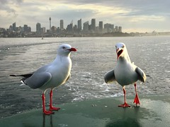 Gull & The City #iphone7splus #iphone #manlyferry #sydney #ilovesydney #visitnsw #seagull Water Sea Bird Seagull Architecture Animals In The Wild Nature Animal Themes Animal Wildlife Building Exterior City Day No People Built Structure Outdoors Beach City (alexkess) Tags: water sea bird seagull architecture animalsinthewild nature animalthemes animalwildlife buildingexterior city day nopeople builtstructure outdoors beach cityscape perching skyscraper sky