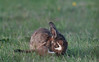 stoat and rabbit (kevmg61) Tags: stoat rabbit young attacking field grass green grabbing predator prey isle sheppey