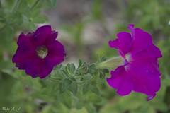 Claro y oscuro (pedroramfra91) Tags: flores flowers primavera spring macro naturaleza nature