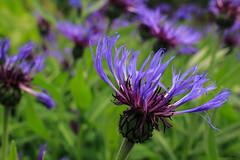 Mountain Bluet  - Centaurea montana (Wonder Woman !) Tags: mountainbluet centaureamontana flower blueflower purpleflower michigan usa raw jpeg bokeh