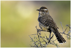 cactus wren (Christian Hunold) Tags: cactuswren songbird bird catalinastatepark sonorandesert arizona bokeh kaktuszaunkönig christianhunold