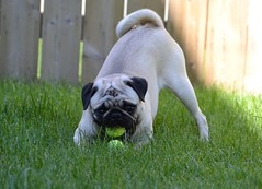 The Ball Hoarder Monsieur Boo Lefou (DaPuglet) Tags: pug pugs dog dogs pet pets animal animals ball funny puppy