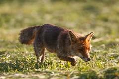 2017-06-16_Renard_8544 (Bruno Pesenti) Tags: carnivores renardroux goupil canidés mammifères