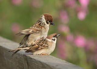 Tree Sparrows - Passer montanus