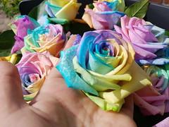 20170630_160605 (Daniella Velings) Tags: rozen roses artificiallycoloured multicolored colourful kleurrijk rainbowcolouredroses rainbow beautiful mooi bloemen flowers me myself