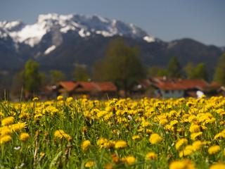© Frühling Natur Feld Wiese Blume Löwenzahn Alpen Dorf Bayern Oberbayern – Spring Nature Field Dandelion Wild Flower Meadow Alps Upper Bavaria Village