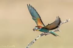Bee Eater_54I1147-290517 (Jayne Bond) Tags: green blue beeeater india calera bird birdlife birdsinaction colour flight insect food