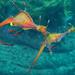 Weedy seadragon courtship - Phyllopteryx taeniolatus 2