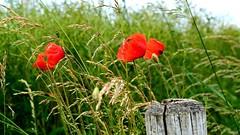 Fleeting (Maria Laura Zazza) Tags: flowers fiori rosso red poppy papavero papaveri nature natura green verde fotografia foto nikon fotografo