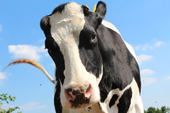 Night Fly (excellentzebu1050) Tags: livestock cow cattle dairycows animalportraits closeup farm animal outdoor coth5