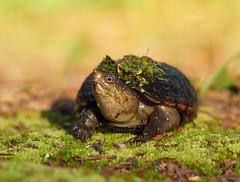2017-07-06 P1000379 Morning Mud Turtle [Explored] (Tara Tanaka Digiscoped Photography) Tags: mudturtle cypressswamp manualfocus bokeh florida gh5 mirrorless nikon300mmf28 moss green dof