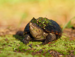 2017-07-06 P1000379 Morning Mud Turtle [Explored]