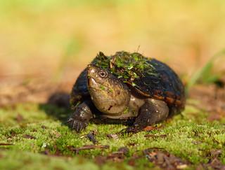 2017-07-06 P1000379 Morning Mud Turtle [Explored]
