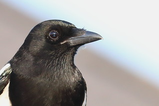 Magpie portrait_MG_5597