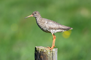 Stelkur - Common Redshank - Tringa totanus