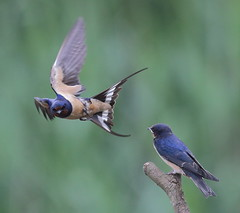 Swallow feeding young5