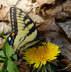 Tiger Swallowtail (Ramona H) Tags: appalachiantrail shenandoahnationalpark tigerswallowtail swallowtail butterfly dandelion insect appelachia skylinedrive blackrock nature outdoors