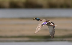 Mallard-7127 (Kulama) Tags: mallard mandarinduck duck birds nature wildlife water summer canon7dmarkii sigma150600563c