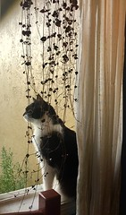 Bella and the Rosary Vine (Tina Banda) Tags: bella tuxedocat homelife windowsill rosaryvine stringofhearts contemplative morning curtains pets gato vines