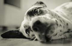 Lola (ruanmayworm) Tags: dog lola dálmata dalmatian 35mm black white preto e branco