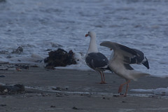 IMG_3977 (armadil) Tags: mavericks beach beaches californiabeaches bird birds seagull seagulls