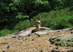 IMG_6807b (Naturecamhd) Tags: canonpowershotsx60hs sx60hs newyorkbotanicalgarden nybg redtailedhawk botanicalgarden bronx thebronx wildlife raptor hunter green eco birding nature fledge
