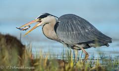 Grey heron (Ardea cinerea) (Ville.V.) Tags: grey heron ardea cinereabird birds birding wild wildlife finland suomi
