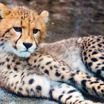 Cub Cheetah : チーターの赤ちゃん thumbnail