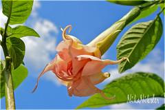 Brugmansia arborea (angel's trumpet) (Nika Niksler) Tags: brugmansia flowers exotic nature flora pink blossom blumen blooming flores exótico naturaleza rosa floración fleurs exotique nikon3300