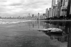 Civilization (alestaleiro) Tags: deadfish beach civilization monochrome bw monocromo playa city strand spiaggia cidade ciudad balneáriocamboriú sc brasil bresil urbanity reflection reflejo pez pescado death pescadomuerto alestaleiro perpective