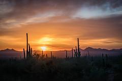 Saguaro Sunset (Morten Kirk) Tags: mortenkirk morten kirk saguaro national park tucson arizona usa 2017 roadtrip holiday desert cactus