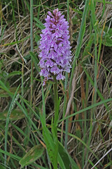 Spotted Orchid (Roy Lowry) Tags: spottedorchid orchid cerneabbas gianthill dactylorhizafuchsii