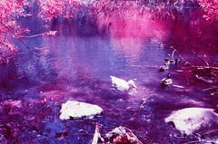 IR Ducks (LeandroF) Tags: minoltasrt101 minolta analog film camera fpp infrared chrome e6 slidefilm thedarkroomlab color yellow10filter ir 45mmf2rokkor vintage 35mm slr infrachrome