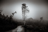 Mist falls over the park (p_v a l d i v i e s o) Tags: 24105mm 5d3 canon5d canon5dmk3 canonef24105mmf4lisusm canoneos5dmarkiii ef24105mmf4 parquenaturalsintracascais bw blackandwhite fog mist monochrome monocromatico monocromatique monocromático splittoning tree sintra portugal