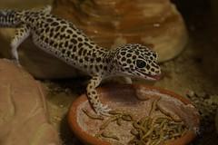20170701X1820_Leopardgecko_0125 (RascheBilder) Tags: leopardgecko raschebilder