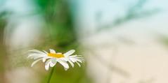 marguerite / daisy (LeDriver*) Tags: leucanthemumvulgare marguerite daisy nikond7000 sigmacontemporain150600mm fleur flower flora summer été jaune yellow gold or vert green jardin garden profondeur de champ dof