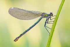 Calopteryx splendens (Prajzner) Tags: calopteryxsplendens beautifuldemoiselle damselfly odonata sigma105mmmacro nikond7100 nature macro manfrottomt190xpro3 velbonmagslider