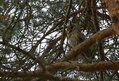 Hibou moyen duc. Rhône. (stephane.henry05) Tags: animaux hiboumoyenduc oiseaux parcdeparilly rapace