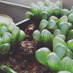 All that plump, succulent goodness... #haworthia #haworthiacooperiobtusa #succulents #succulentsofinstagram